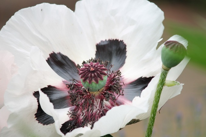 poppy-flower-3429812_1920