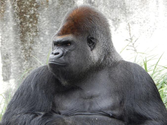 gorilla-928598_1920